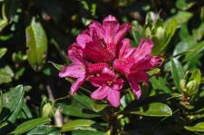 Rhododendron ferrugineux (Laurier-rose des Alpes)