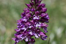 Orchis pourpre x Orchis militaire (Orchis x hybrida) (Hybride)