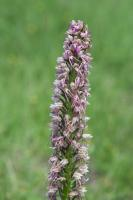 Orchis singe x Homme-pendu (Orchis x bergonii) (Hybride)
