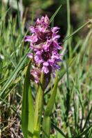 Orchis incarnat (Orchis couleur de chair)