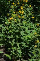 Lysimaque commune (Grande lysimaque)