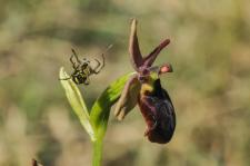 Ophrys de l'Aveyron x Ophrys mouche (Ophrys x colin-tocainae) (Hybride)