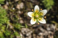 Saxifrage d'Auvergne (Saxifrage fausse mousse) (Saxifrage faux bryum)
