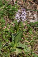 Orchis conique