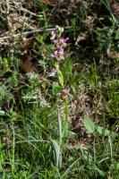 Ophrys bourdon (Ophrys frelon) (lusus)