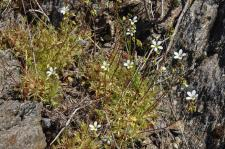 Saxifrage continentale