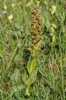 Orchis grenouille (Orchis vert)