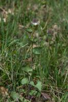 Alliaire officinale (Alliaire) (Herbe aux aulx)