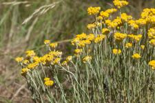 Immortelle (Immortelle jaune) (Immortelle des dunes) (Immortelle commune)