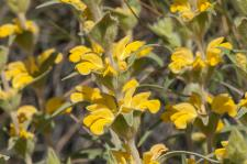 Lychnite (Phlomis Lychnite)